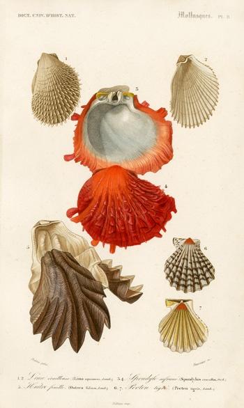 D'Orbigny Sea Creature Print: 1849. #nature #shells #scientific #illustration