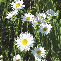 Plant Care: Shasta Daisy. Special Features: *Easy care/low maintenance *Good for cut flowers *Attracts butterflies