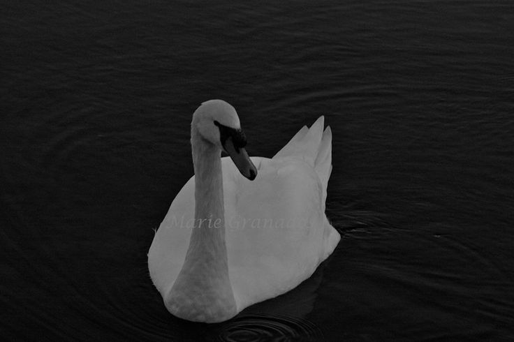 Swan photograph. Available in prints and canvas. Custom orders available.  Check out my page for more information or to contact me. www.facebook.com/CrazyTravelChic