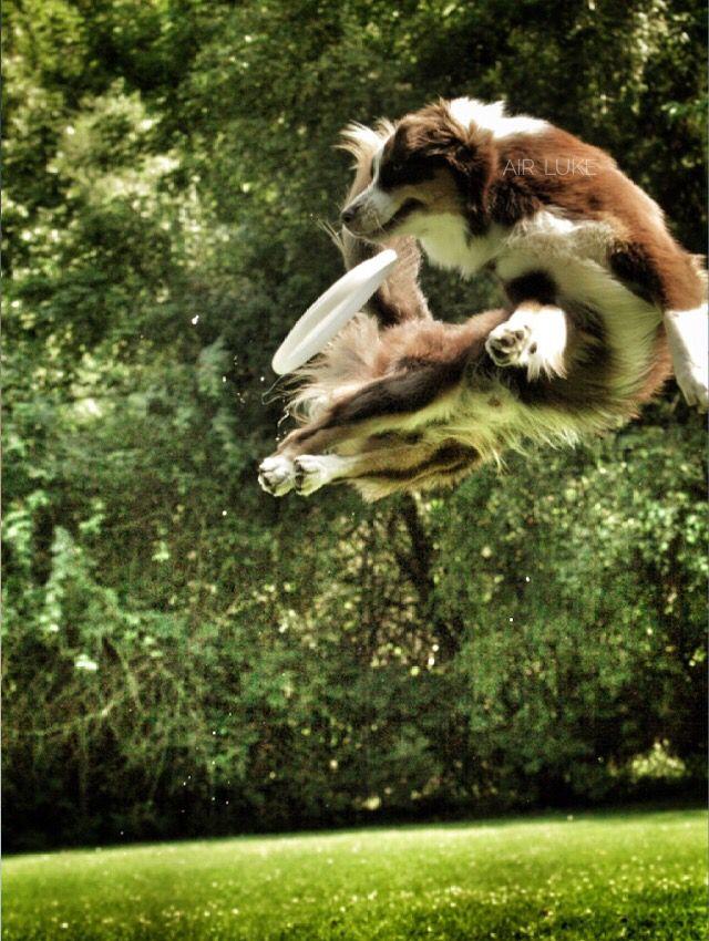 ❤️ my love air luke  #luke #air #dog #aussie #shepherd #mydog #wegbegleiter #frisbee  #tier #freundschacht #hund #freund #flying #hundesport #fotos #hundefotos #tierfotografie