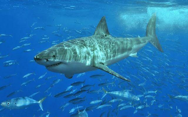 Primavera e giugno attenzione ai squali Nel passato mese di giugno in Nord Carolina ci sono stati 3 attacchi di squali. Che sono costati caro a due ragazzi giovani e a un anziano signore. In tutto nell'anno passato gli attacchi registrati