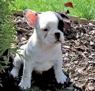 love the patch over the eye...cutie pieFrench Bulldogs Puppies, Pets, Frenchbulldog, Ears, Adorable, Things, Frenchie, French Bull Dogs, Animal