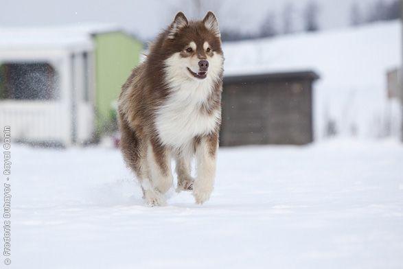 Royal Canin - Breed - Finnish Lapphund