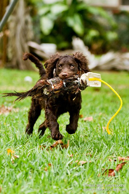 Maya the American Water Spaniel; this is what Dove looks like whens he fetches.
