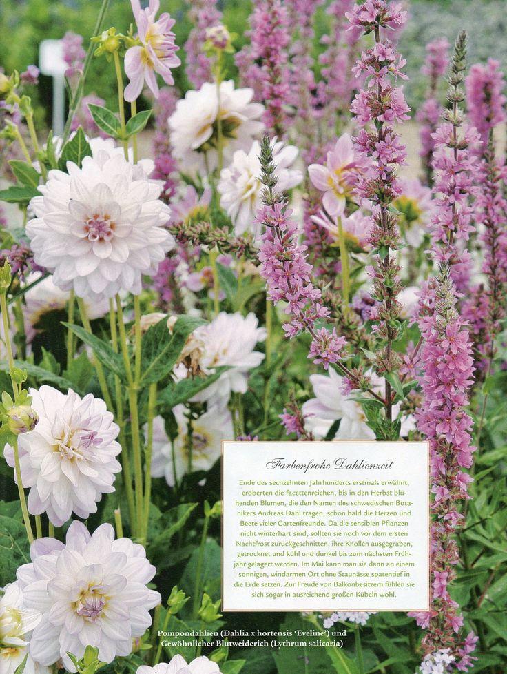 Ideal Dahlia and Lythrum Wohnen und Garten magazine