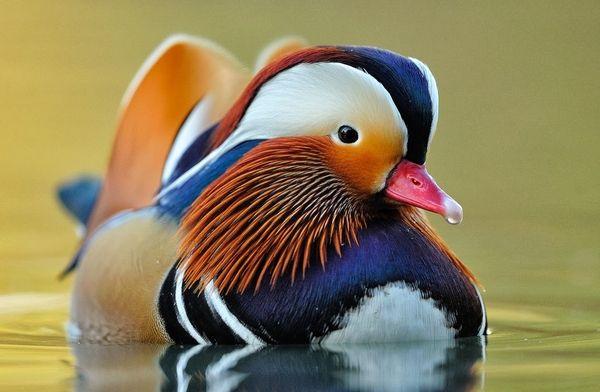 Pato Mandarín (una de las aves más hermosas del mundo)