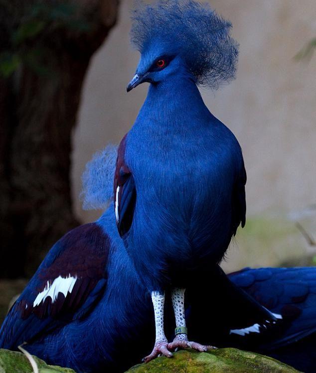 O pombo azul coroado não é tão pombo comum, pois pode crescer e ficar do tamanho de um peru, mas com uma espetacular plumagem azul.