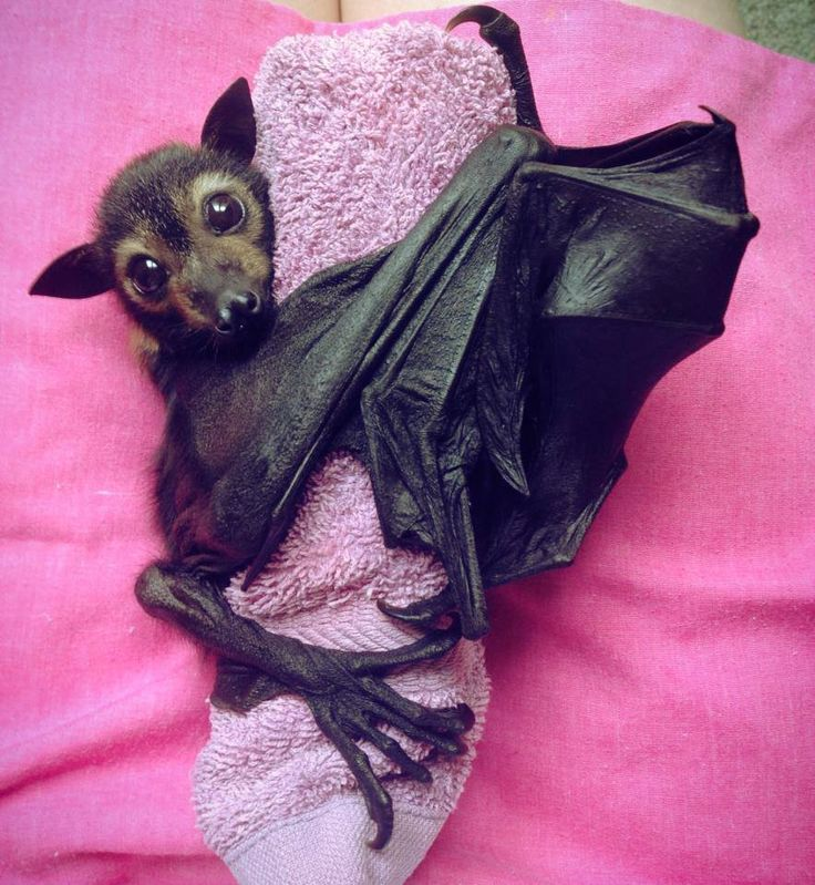 baby flying fox. Baby bats cling to their mother's fur when mom flies out for food. Sometimes they become dislodged and fall off. A number of places around the country care for orphaned bats.