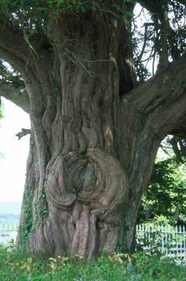 Oldest yew tree in Scotland. Look at the lovely angel at the bottom of the tree!