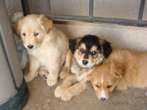 husky lab mix puppies - ahhh i want one of these!