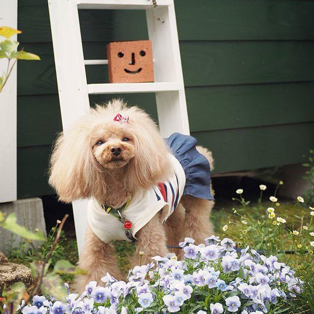 """#5月 . おはようございます🌱 今日から5月。 🐶モナちゃんも """"月1トリミング"""" を済ませ、スッキリ✨✨✨ * 今月もよろしくお願いします😌 . #愛犬#犬#トイプードル#dog#toypoodle #保護犬#rescuedog#大事な命#家族#里親#ずっと一緒#手作り犬服 #犬との暮らし#トリミングアフター#いつもの朝#お庭で#Flower#smile#happy#love#幸せ"""