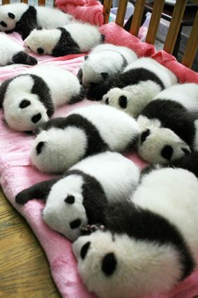 Giant panda cubs nap in a nursery at the Chengdu Research Base of Giant Panda Breeding in southwest China's Sichuan Province.