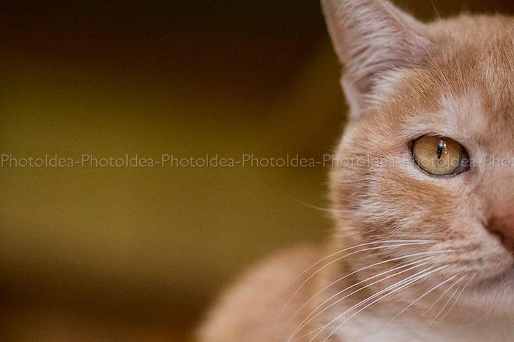 Fotografia di gatto arancione, macro fotografia del fiero felino, per decoro di interni, stampa Fine Art di animali by PhotoIdea on Etsy