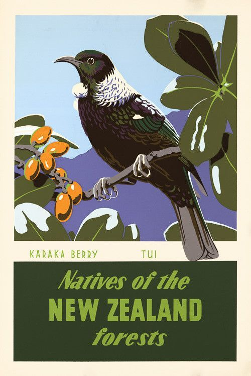 Karaka Berry and Tui. Natives of the New Zealand forests. This poster for the New Zealand Tourist Department shows the tui bird sitting on a branch of karaka berries. Illustrated by Marcus King, c. 1950. Vintage New Zealand travel poster.: