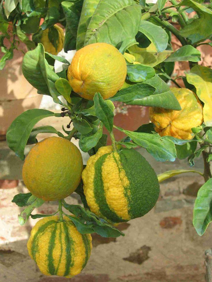 Citrus aurantium 'Bizzarria' (arancio bizzarria)