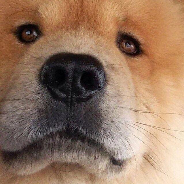 Que tristeza... Meus coleguinhas encapetados foram embora Eles enchiam meu saco... Mas faziam companhia e brincavam comigo  #vousentirsaudades #husky #danados #chowchow #chowchowaju #chowchowdog #chowchowbrasil #chowchowlovers #dog #dogsofinstagram #pet #petstagram #instachow #instadog #instapet #lacyandpaws #dogsandpals #ilovemypets #ilovemychow # # # by napo.chow