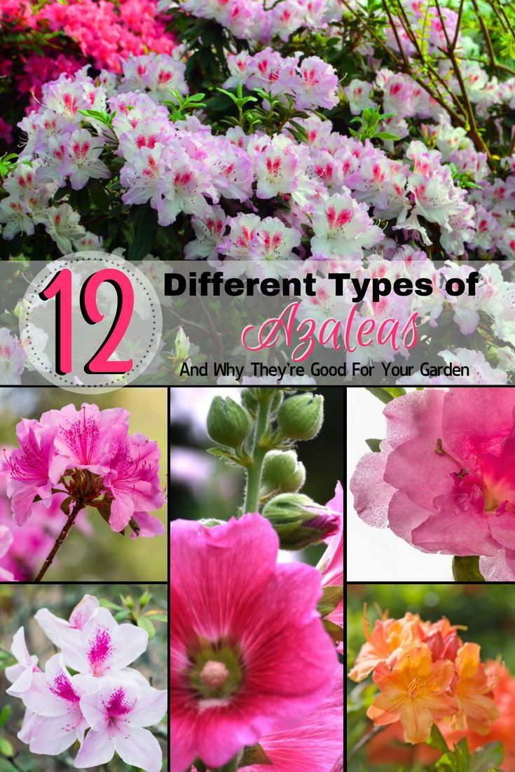 12 Different Types Of Azaleas And Why They Re Good For Your Garden Home Stratosphere Azaleas Landscaping Azalea Flower Dwarf Azaleas