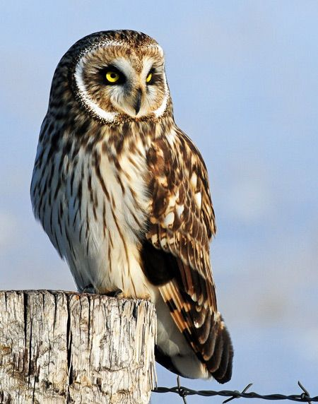 Short-eared owl.  Endangered in Michigan. ~ protecting our national heritage is a necessity!!! we lose creatures of such basic beauty, & we lose ourselves!