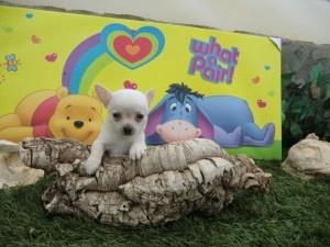 Cachorro chihuahua miniatura de Criadero Cantillana