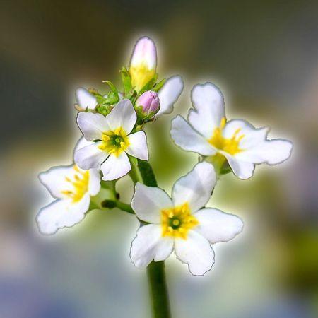 Bachblüte Nr. 34: Water Violet ist die Kommunikationsblüte. Sie fördert die Offenheit und das Vertrauen sowie die Fähigkeit, anderen Menschen aufgeschlossener zu begegnen ...