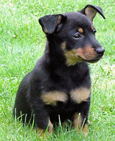 <b>Lancashire</b> <b>Heeler</b> Dog Breed - puppy-Pictures, Information, Temperament ...