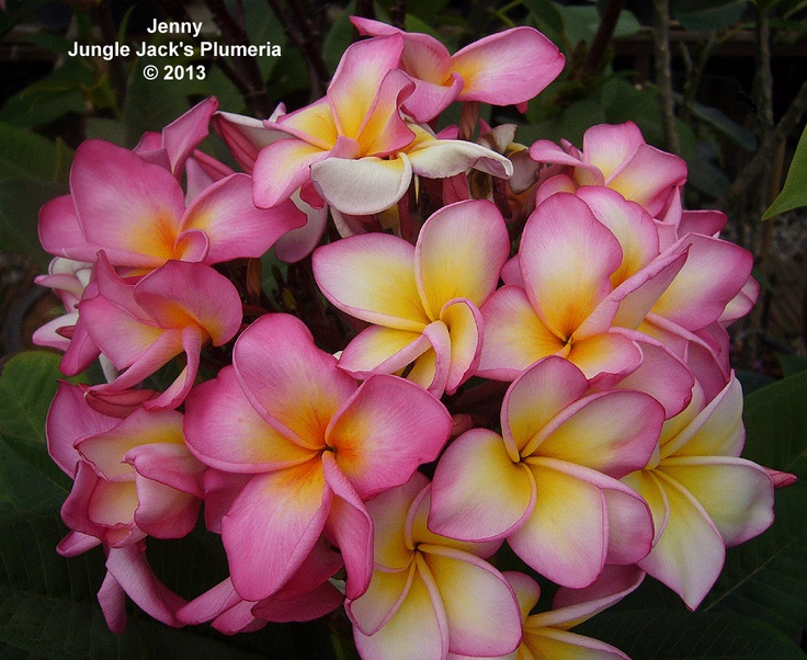 Jenny Any Plumeria That Produces A Flower Cer The Size Of Basketball Is Special