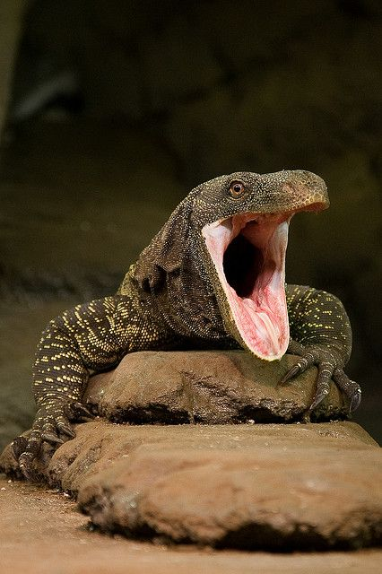 17 best images about crocodile monitor on pinterest rare - Bearded dragon yawn ...