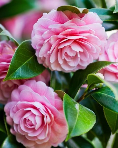 """Camellia - These impressive, lush flowers were beloved by the Victorians, and were given the meaning """"my destiny is in your hands."""""""