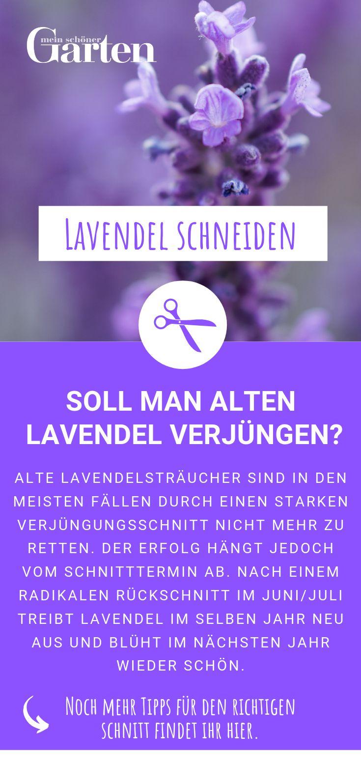 Lavendel schneiden: Soll man alten Lavendel verjüngen?