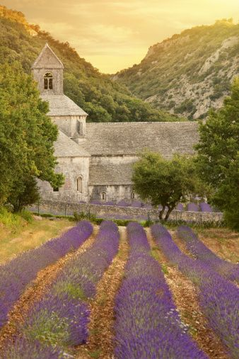 abbey-with-blooming-lavender-field-at-dusk-picture-id155438511 (338×507)