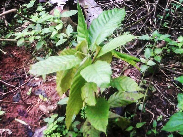 Vi presento la mia prima pianta di Cacao in #Camerun un piccolo grande regalo per la salvaguardia del nostro pianeta. Grazie a @treedom_trees e @smdayit   #Treedom #SMDAYIT #LoveNature
