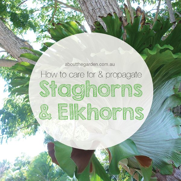 how to care for and propogate staghorns and elkhorns aboutthegarden staghorns elkhorns. Black Bedroom Furniture Sets. Home Design Ideas