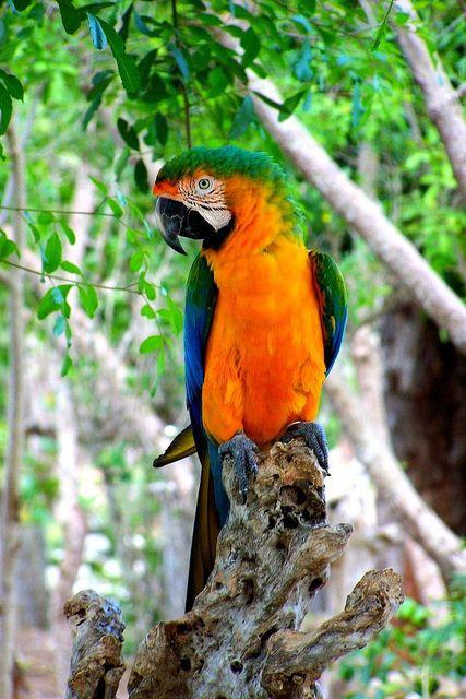 Parrot, Bahamas