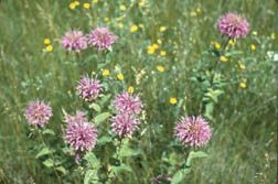 Native Herbaceous Perennials for Colorado Landscapes...perfect if you are looking for xeric species to spice up your landscape!