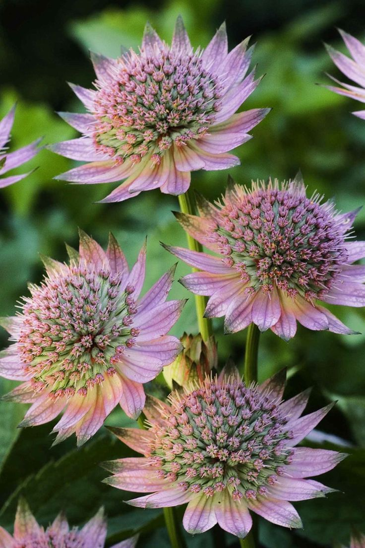 Astrantia - we have these in white with the palest mauve edging the petals...lovely