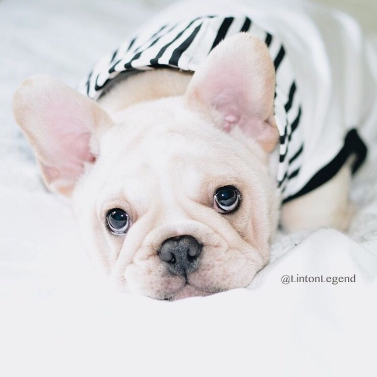 Linton, the French Bulldog, wearing a pipolli hoodie