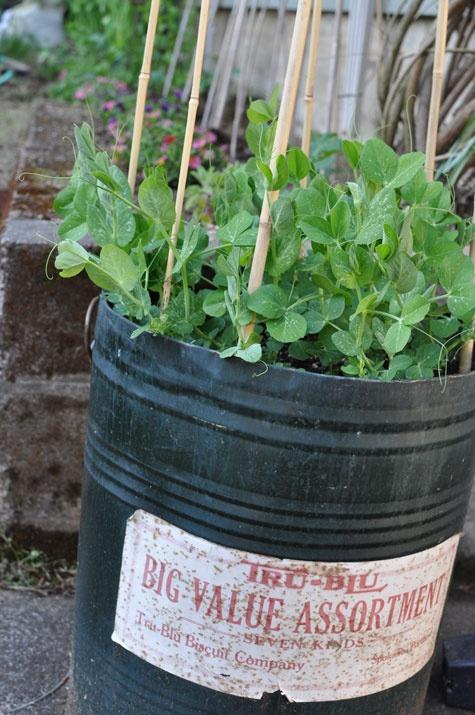 plant peas in a big bucket!!