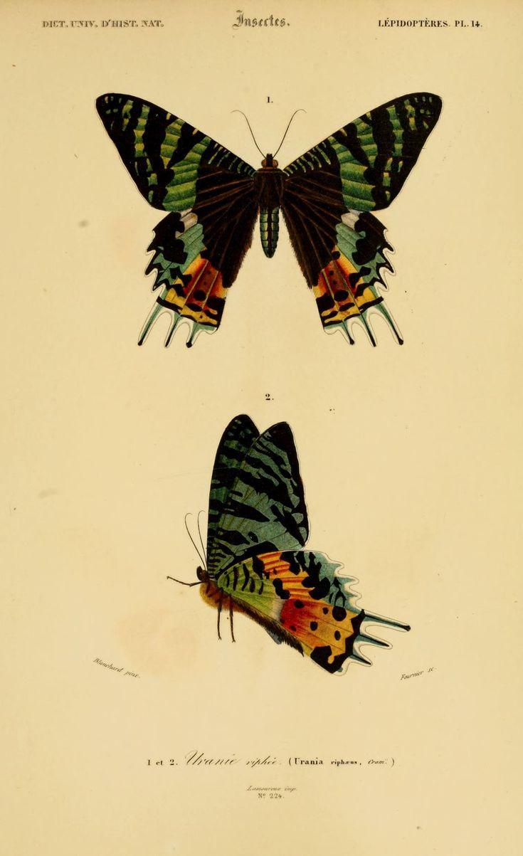 img/dessins couleur insectes/dessin insectes 0203 papillon uranie riphee - urania riphaeus.jpg