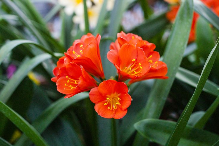 Clivia miniata, Red R01 x Red R05.  Colorado Clivia's plant no. 573B.