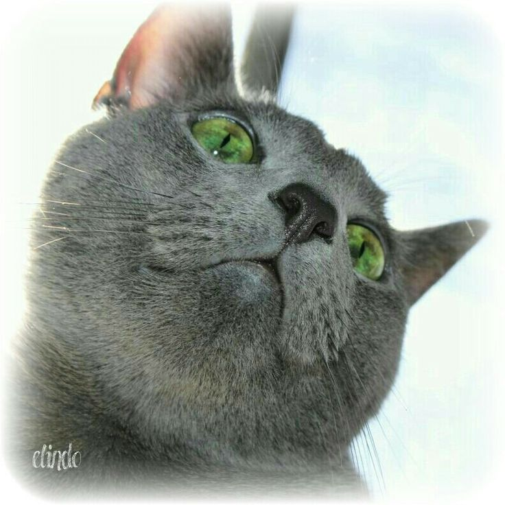My russianblue boy cat