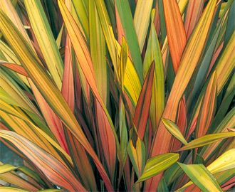 Phormium 'Rainbow Queen' - New Zealand Flax - this ornamental grass can take the heat!