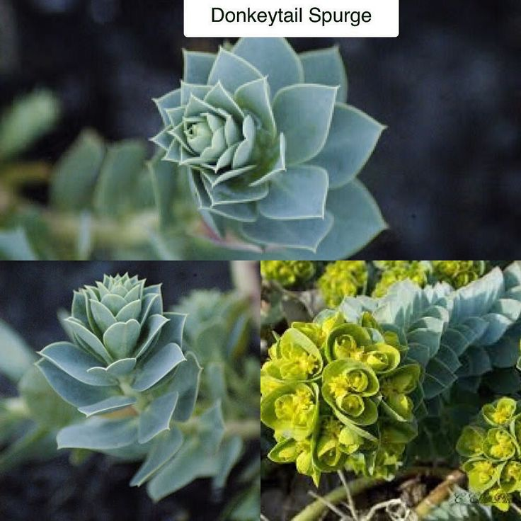 Donkeytail Spurge Euphorbia myrsinites Type: Succulent Evergreen Perennial Exposure: Sun Water: Drought Tolerant This interesting little plant features slightly fleshy bluish-green spiraling leaves lining sprawling curving stems. These stems will sprawl to about 14in (35cm) long each ending in chartreuse flower clusters that last through the spring months each getting about 4in (10cm) across. This plant prefers hot dry situations and may self-sow to the point of being invasive in these…
