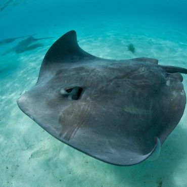 big-manta-ray-swimming-with-sting-rays-tour-San-andres-colombia