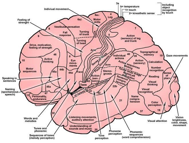 Brain Anatomy: Overview, Gross Anatomy: Cerebrum, Gross Anatomy: Cortex