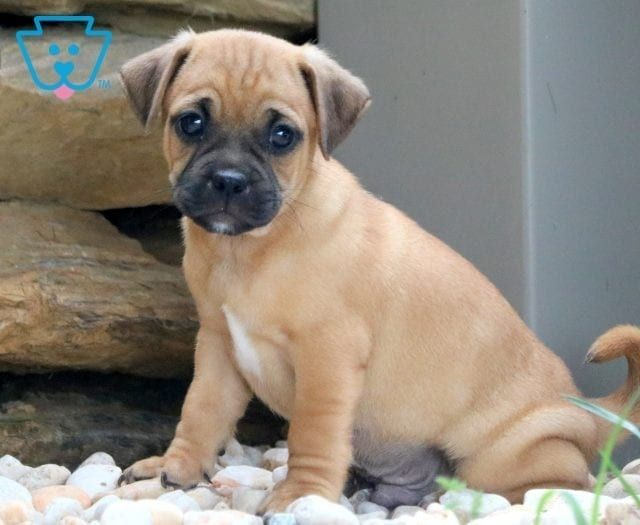 Max Jug Puppies For Sale Puppies Newborn Puppies