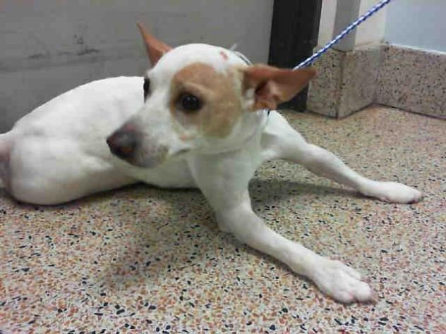 LITTLE BOO • Jack Russell Terrier (Parson Russell Terrier) & Rat Terrier Mix • Adult • Male • Small Miami-Dade Animal Services Miami, FL !!