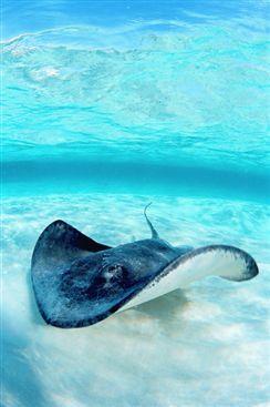 Cayman Islands,stingray!