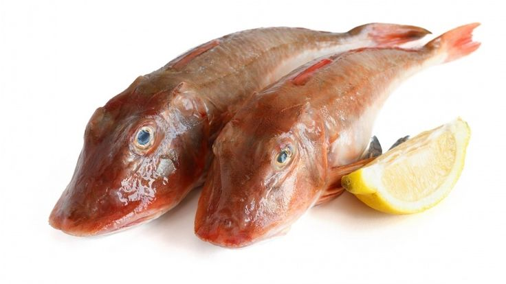 Sea gurnard fish, gurnard recipe sauce, fish sauce, fish ragù with tomatoes