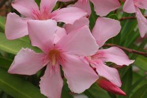 Oleander | ASPCA
