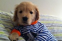Ray Charles: The Blind Golden Retriever Puppy- The world's most adorable puppy!